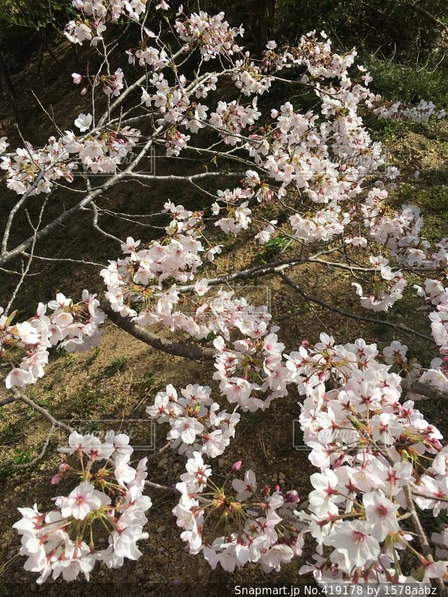 桜の写真・画像素材[419178]