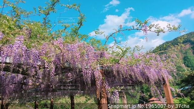 フジの花の写真・画像素材[1965007]