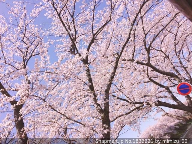 桜の写真・画像素材[1832221]