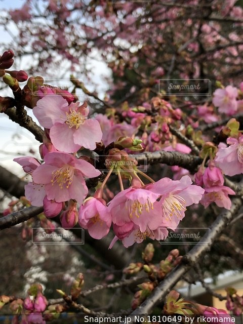 桜の写真・画像素材[1810649]