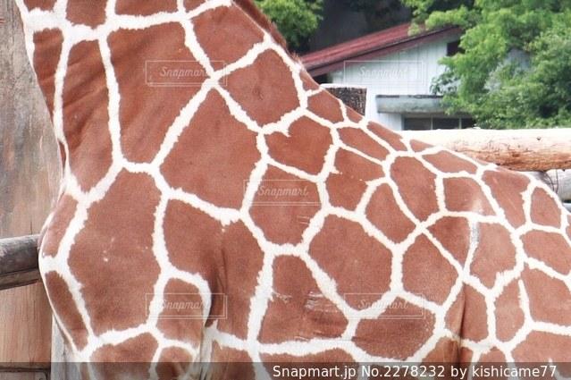 キリンの身体クローズアップの写真・画像素材[2278232]