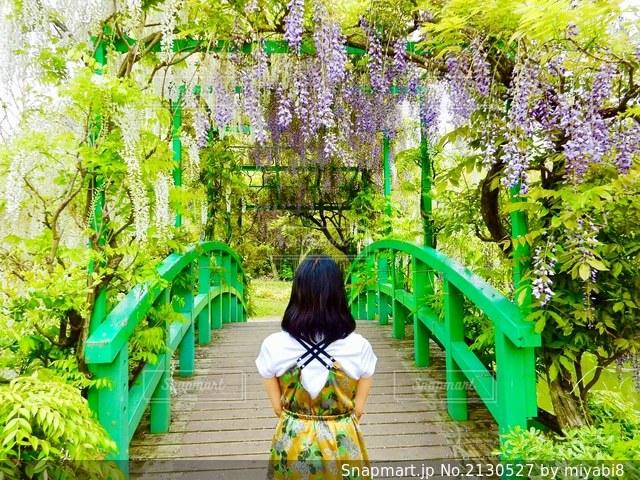 藤の花のブリッジの写真・画像素材[2130527]