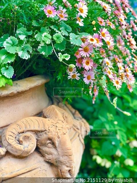 ピンクのマーガレットの写真・画像素材[2151129]