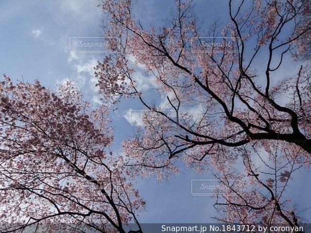 青空と桜の下での写真・画像素材[1843712]