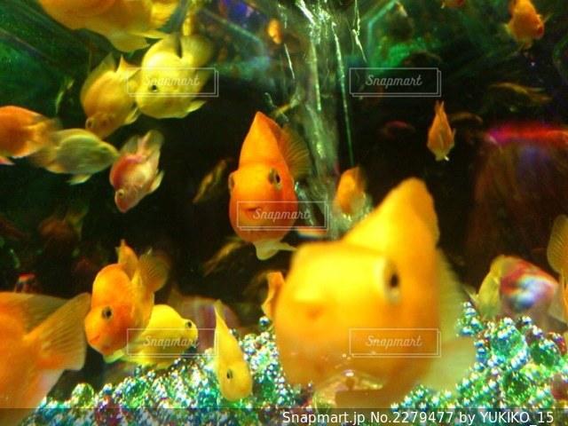 顔が笑ってる金魚の写真・画像素材[2279477]