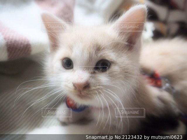 猫ちゃんの写真・画像素材[2123432]