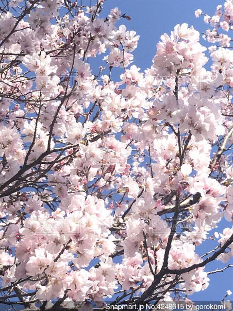 桜満開の写真・画像素材[4248615]