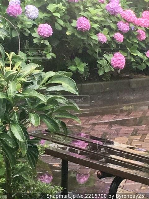水溜りに反射している紫陽花。の写真・画像素材[2216700]
