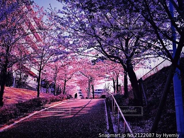 桜の写真・画像素材[2122087]