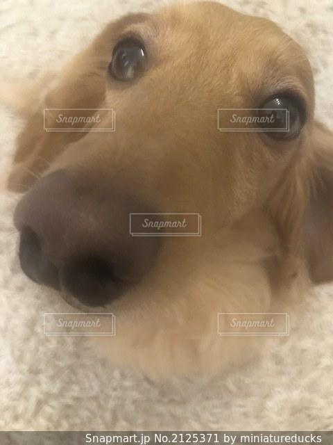カメラを見ている茶色の白い犬の写真・画像素材[2125371]