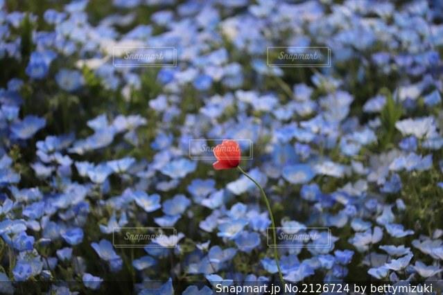 ネモフィラ に咲く一輪のアネモネの写真・画像素材[2126724]