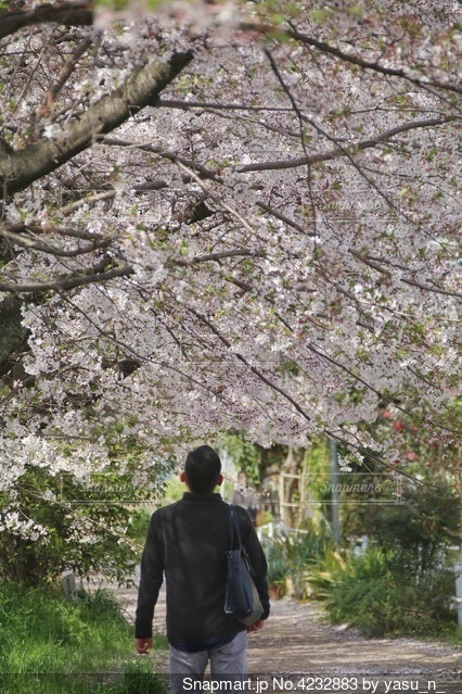 桜並木での散歩の写真・画像素材[4232883]