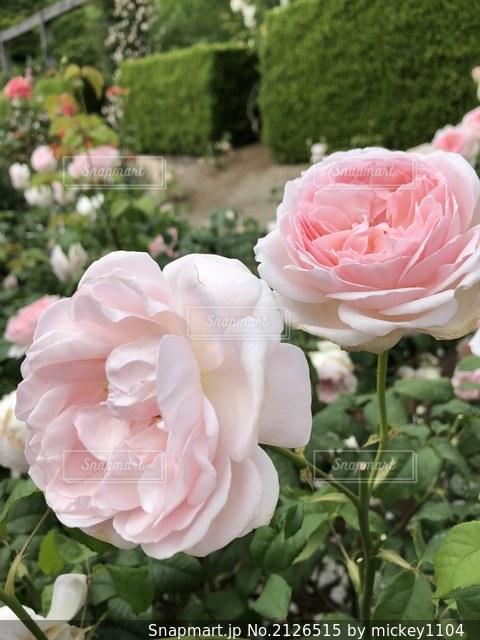 花のクローズアップの写真・画像素材[2126515]