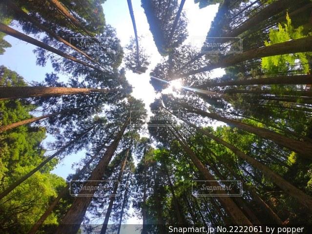 杉の木の写真・画像素材[2222061]