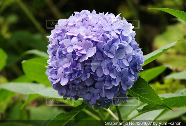 紫色のまん丸紫陽花の写真・画像素材[4364667]