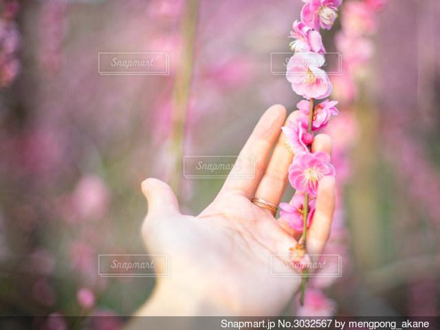 枝垂れ梅を手に持つ女性の手の写真・画像素材[3032567]