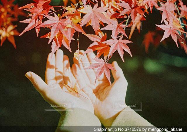 紅葉を包み込む女性の手の写真・画像素材[3712576]