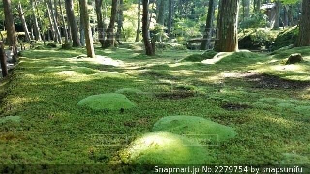 初夏に芽吹く 苔の新芽の写真・画像素材[2279754]