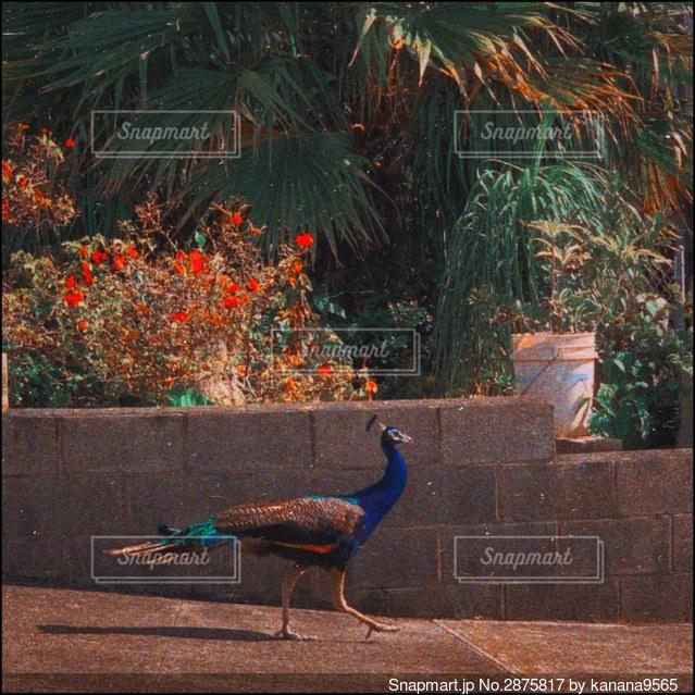 野生の孔雀の写真・画像素材[2875817]