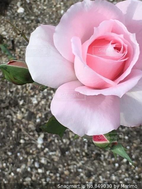 薔薇02の写真・画像素材[849030]