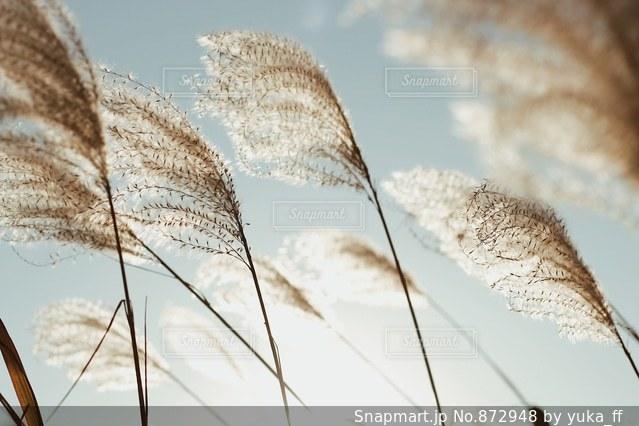 陽射しの中のすすきの写真・画像素材[872948]