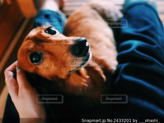 カメラを見ている犬の写真・画像素材[2433201]