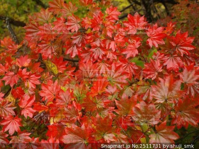緑の葉を持つ赤い花の写真・画像素材[2511731]