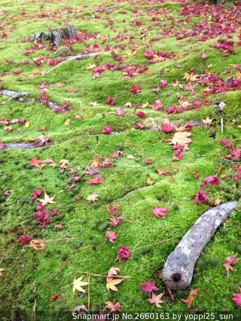 散り紅葉の写真・画像素材[2660163]