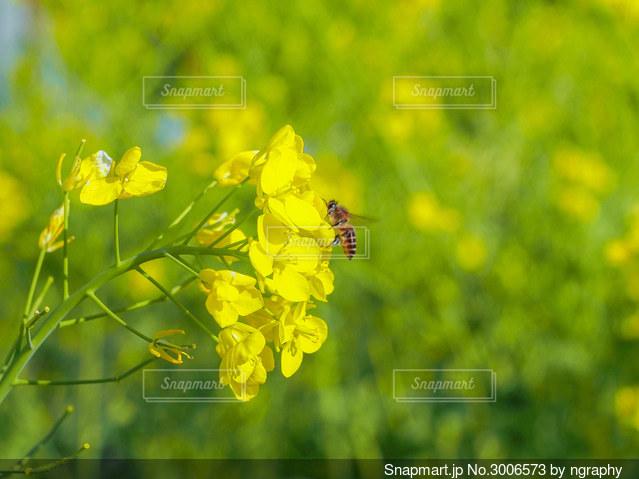 菜の花とミツバチ🐝の写真・画像素材[3006573]