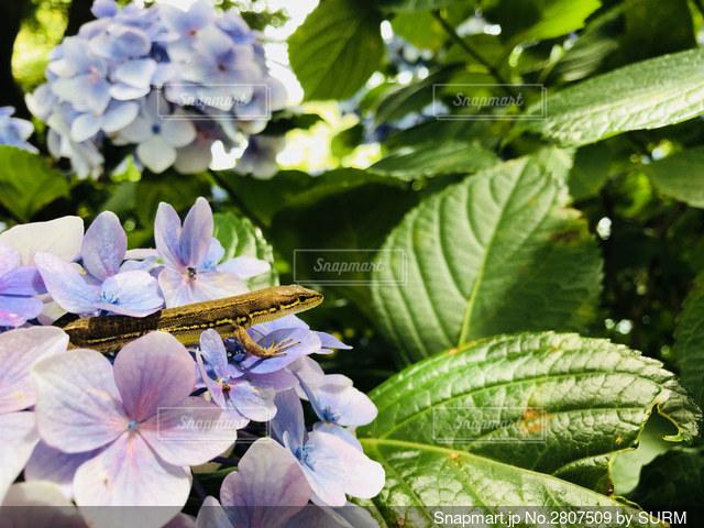 紫陽花とトカゲの写真・画像素材[2807509]