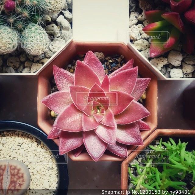 多肉植物の写真・画像素材[1200153]