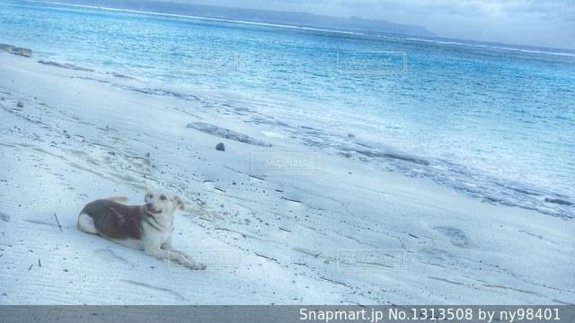 海辺の犬の写真・画像素材[1313508]