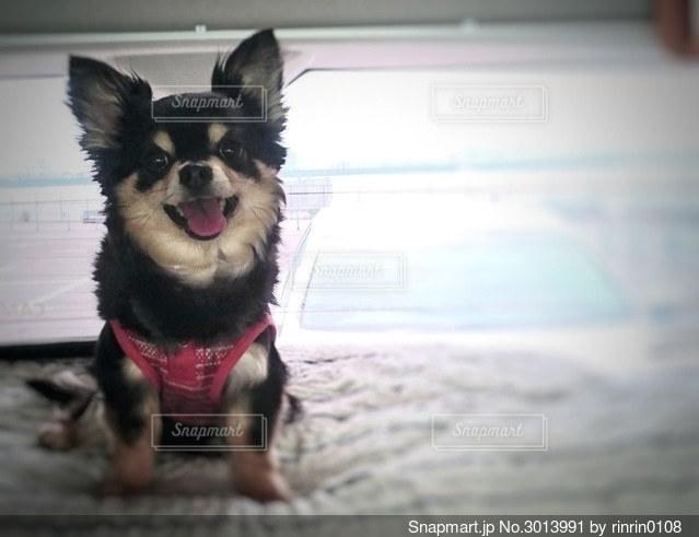 犬の写真・画像素材[3013991]