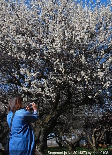 梅の木と女性の写真・画像素材[3014373]