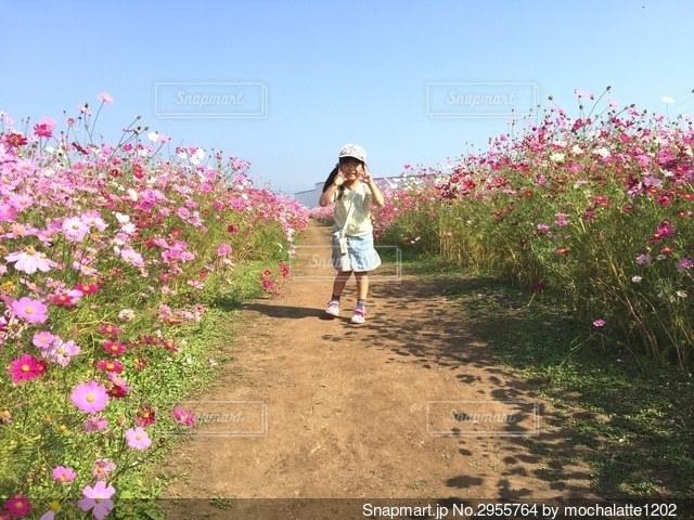 コスモスの中の少女の写真・画像素材[2955764]