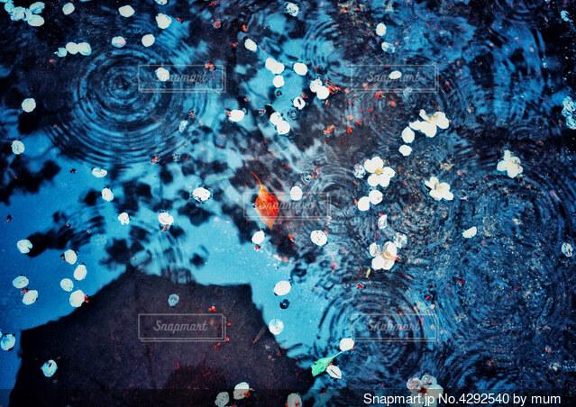 水たまりに浮かぶサクラの花びらの写真・画像素材[4292540]