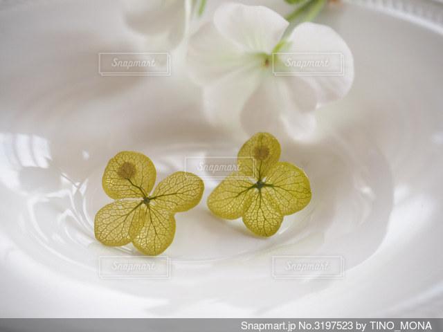 本物の緑の紫陽花のピアスの写真・画像素材[3197523]