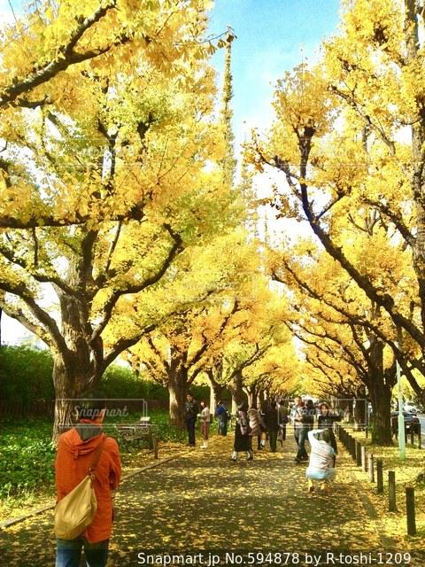 銀杏並木の写真・画像素材[594878]
