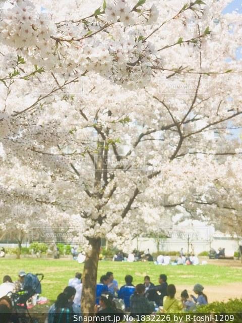 春、満開の桜の木の下で。の写真・画像素材[1832226]