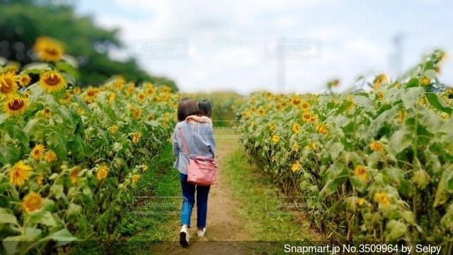 ひまわりの道を歩いている親子の写真・画像素材[3509964]