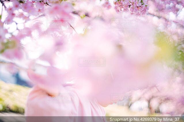 桜の写真・画像素材[4269379]