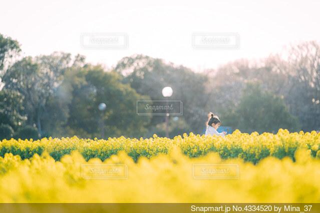 菜の花畑の写真・画像素材[4334520]