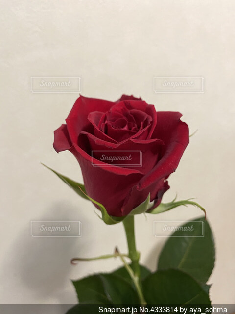 赤いバラの写真・画像素材[4333814]
