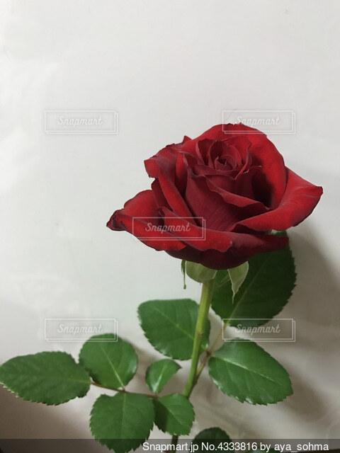 赤いバラの写真・画像素材[4333816]