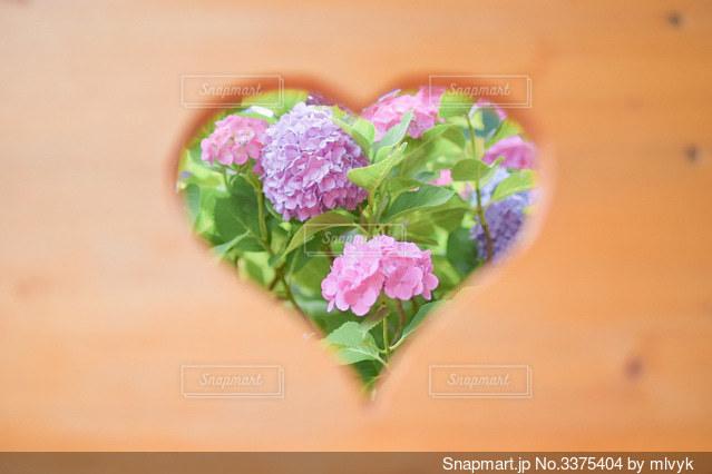 ハート越しの紫陽花の写真・画像素材[3375404]