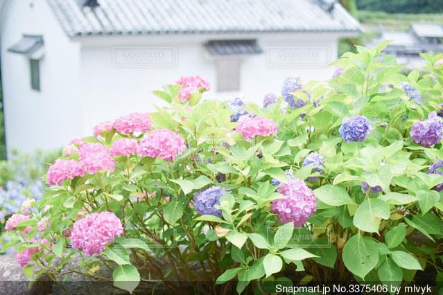 ピンクの花が庭にあるの写真・画像素材[3375406]