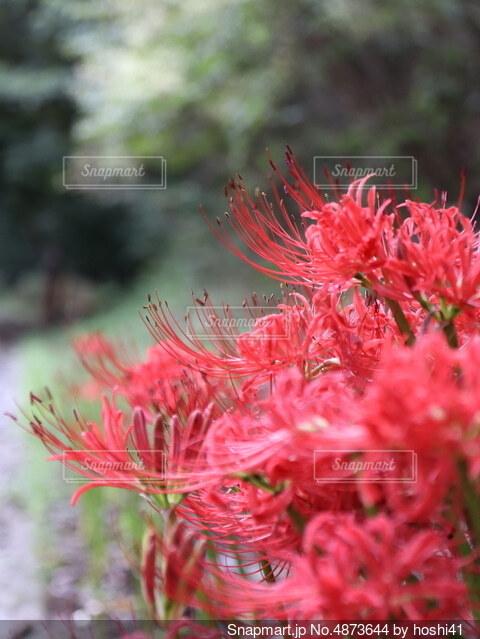散歩中に曼珠沙華の群生の写真・画像素材[4873644]