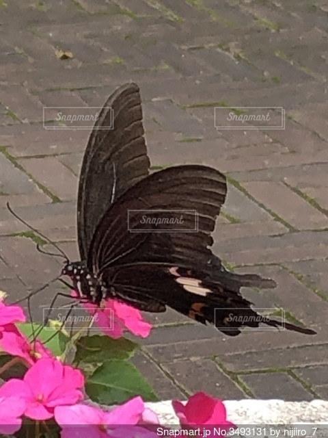 ピンクの花の蜜を吸うアゲハ蝶の写真・画像素材[3493131]