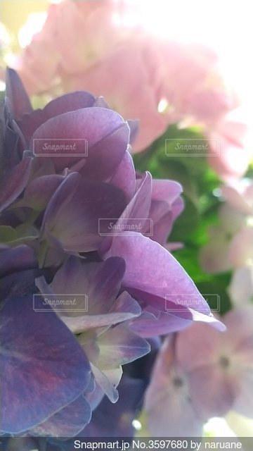 夢心地の紫陽花の写真・画像素材[3597680]