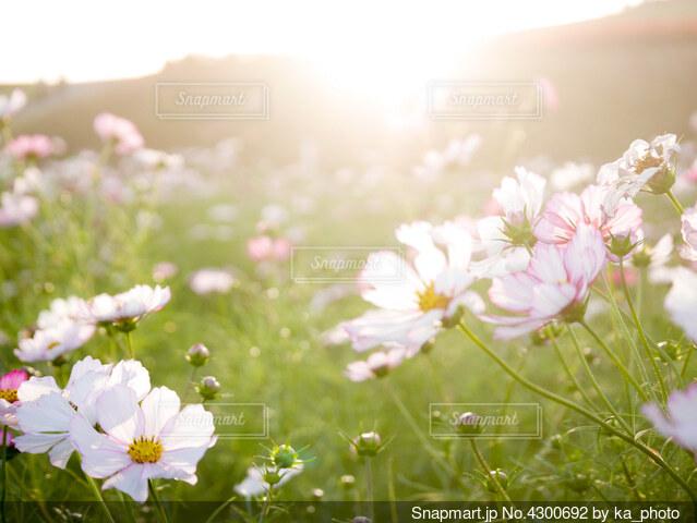 コスモス畑の奥の山に沈む夕陽の写真・画像素材[4300692]